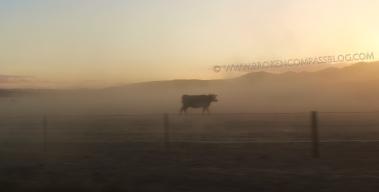 Dust Storm Cow