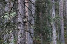 Pikes Peak Squirrel